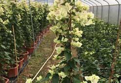 1米-1.3米高樱花粉三角梅树苗