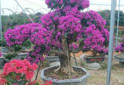 三角梅紫花老桩景,高可达