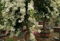 白花三角梅桩景批发 1.5-2米高