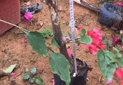 潮州红三角梅树苗,高30-40公